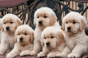 Golden Retriever filhotes