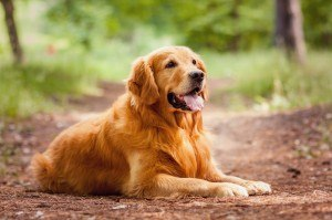 Golden Retriever2
