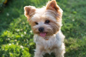Yorkshire Terrier Racas De Cachorro