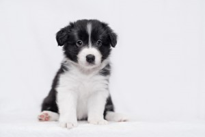 Border Collie filhote