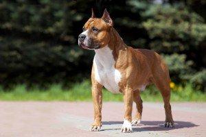american staffordshire terrier raças de cachorro