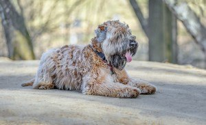 Soft Coated Wheaten Terrier 2