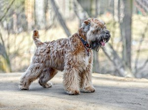 Soft Coated Wheaten Terrier 3