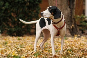 Treeing Walker Coonhound 3