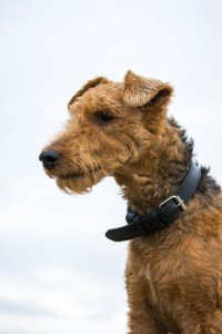 Welsh Terrier 3