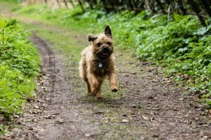 Border Terrier cachorro